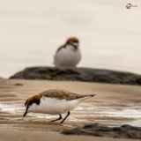 Red-capped Plover, Nairns