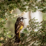 New Holland Honeyeater, Bunbury