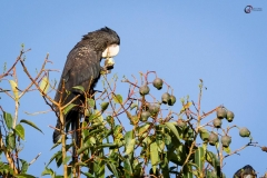 Red-tailed Black-cockatoo, Roelands