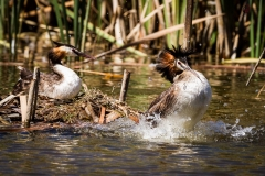 Great Crested Grebe, Herdsman