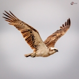 Osprey in flight, Nairns