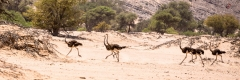 Ostrich in the sand at Damaraland