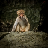 Stump Tail Macaque